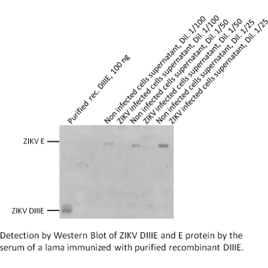 Detection by Western Blot of ZIKV DIIIE and E protein by the serum of lama immunized with purified recombinant DIIE